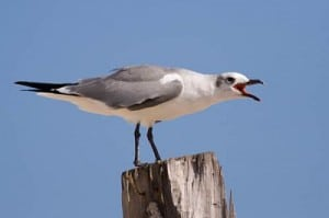 laughing-gull-gulf-coast