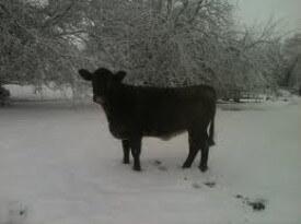 oprah-the-cow