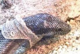 snake-shedding-skin