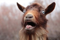 Surprised Goat