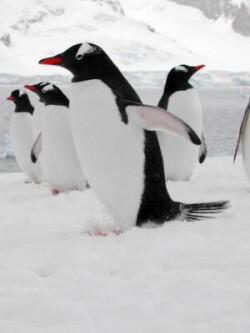 antarctic-penguins