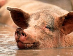 Pig-caused disasters are rapidly spreading around the world.